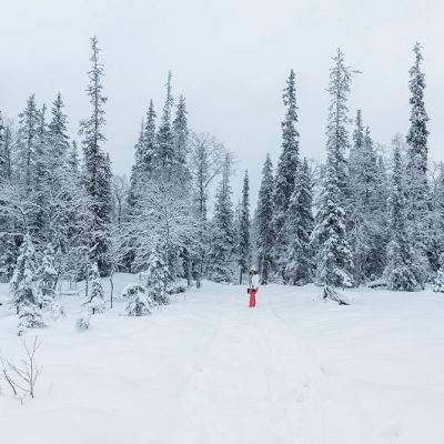 Giant pines trees covered by snow in Finnish Lapland