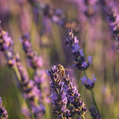 Bee flying at sunrise in a lavender flower