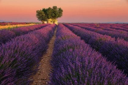 Sunset in lavender fields of Provence