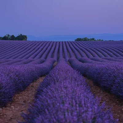 Gentle dawn lisht minutes before sunrise in Provence's lavender fields