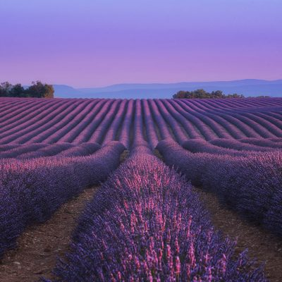 First rays of light at sunrise in Provence's lavender fields