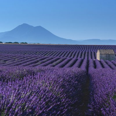 Blooming lavender fields in Valensole Plateau of Provence