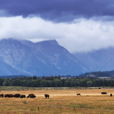 This herd of bisons is eating grass inside Grand Teton National Park