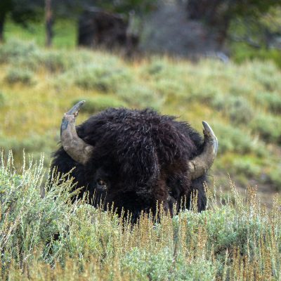 A bison hidding behind bush in Hayden Valley of Yellowstone National Park