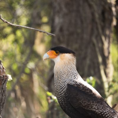 Southern crested caracara are common in Patagonia