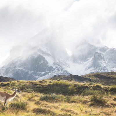 A guanaco eating grass in front of Los Cuernos del Paine during a regular Patagonian cloudy day