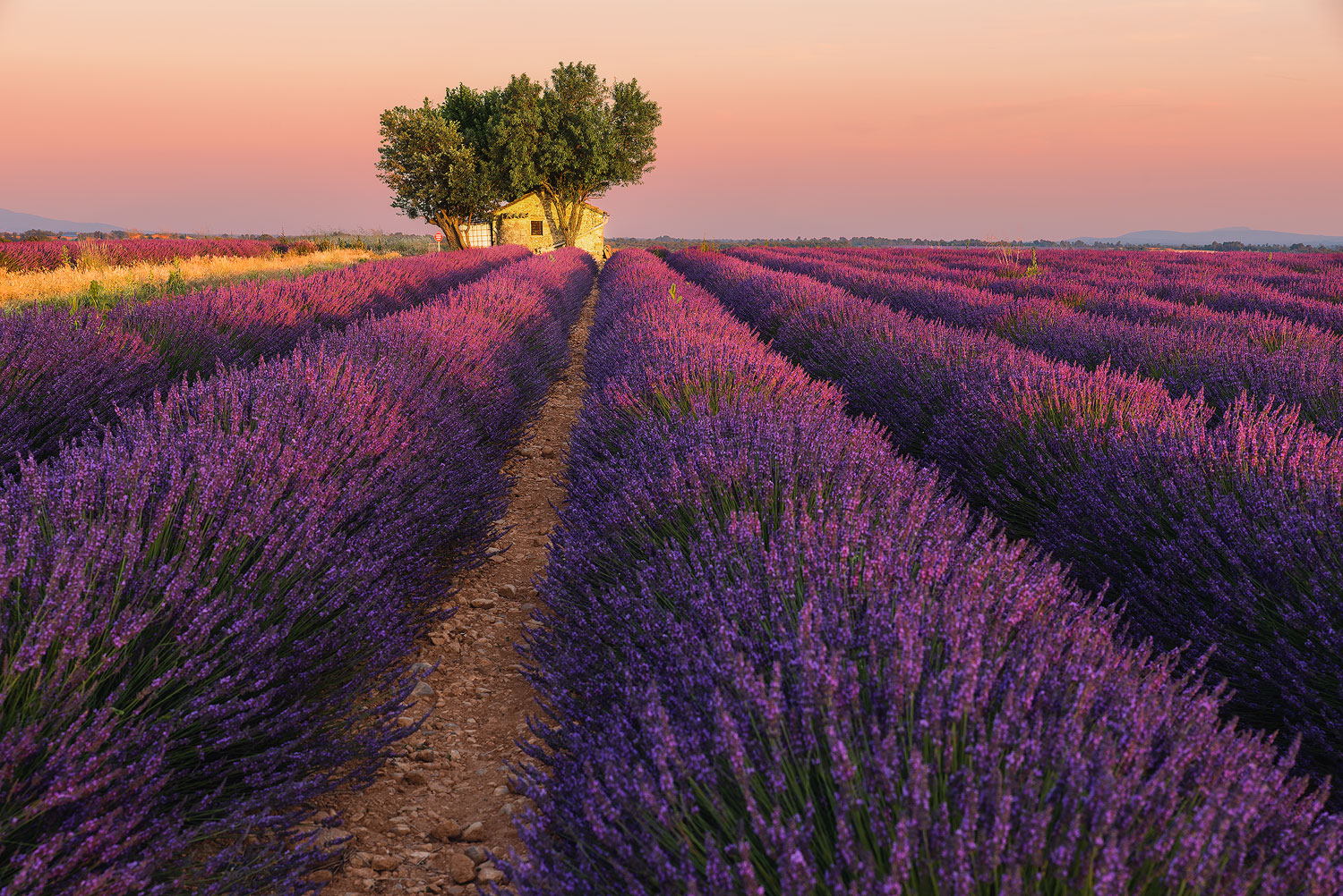 Sunset in lavender fields of Provence at golden hour