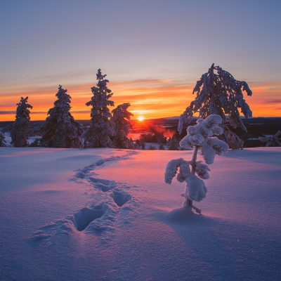 The sun setting between snow covered pine trees in Finnish Lapland