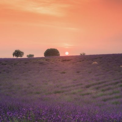 The sun settings behind a lavender field in Provence