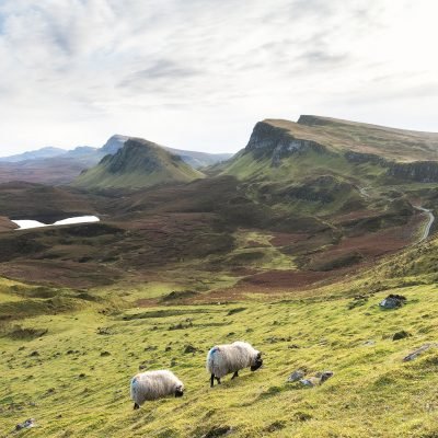 Two sheeps eating grass at Quiraing