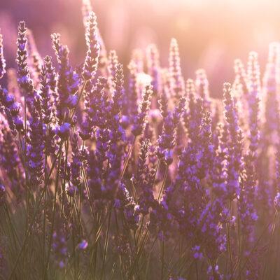 Soft sunset light hitting lavender flower