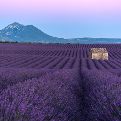 Lavender field of Valensole at sunset