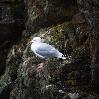 A Seagul resting in the shoreline of Bretagne, in Ouessant island